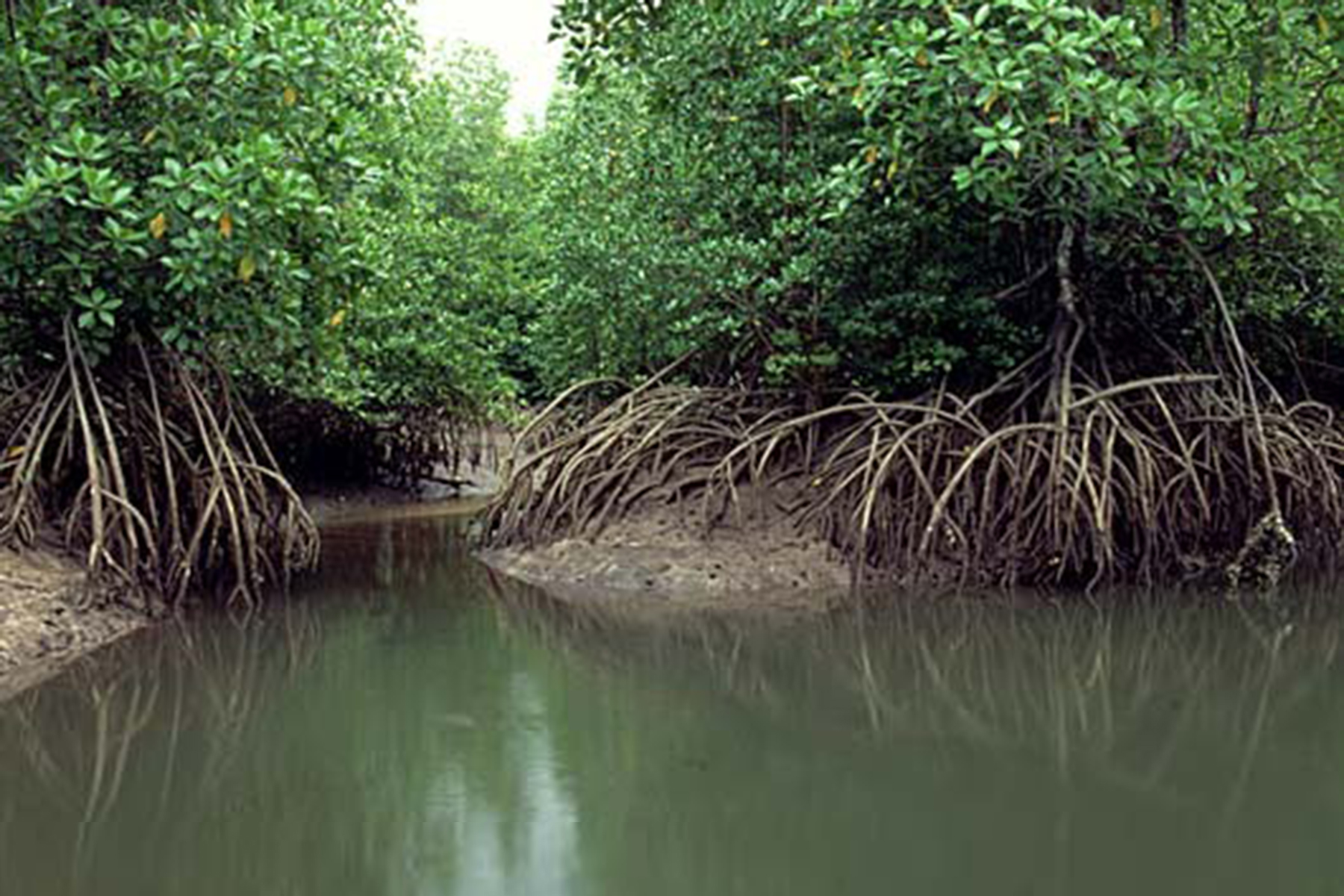 studying mangroves Biological assessment: background to monitoring mangrove forest health   method and should only be used to study long-term changes to mangrove forests.